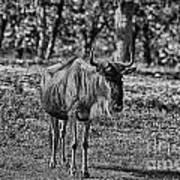 Blue Wildebeest-black And White Art Print