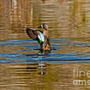 Blue-winged Teal Flapping Art Print