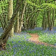 Bluebell Wood 3 Art Print
