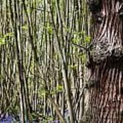 Bluebell Woodland Art Print