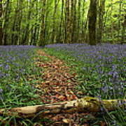 Bluebell Woods Art Print by Peter Skelton