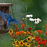 Bluebird And Colorful Flowers Art Print