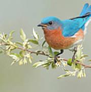 Bluebird Floral Art Print