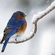 Bluebird In Snowstorm Art Print
