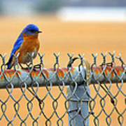 Bluebird On A Fence Art Print