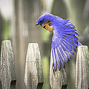 Bluebird On The Fence Art Print