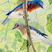 Bluebird Pair Art Print