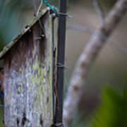 Bluebird With Nest Material In Beak Art Print