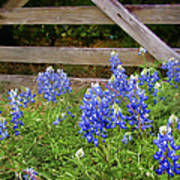 Bluebonnet Gate Art Print