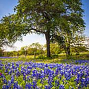 Bluebonnet Meadow Art Print