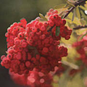 Blushing Berries Art Print by Kandy Hurley