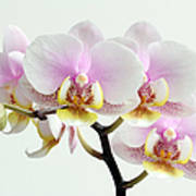 Blushing Orchids Print by Juergen Roth