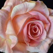 Blushing Pink Rose Art Print