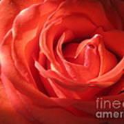 Blushing Orange Rose 1 Art Print