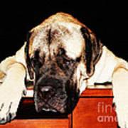 Mastiff Art By Sharon Cummings Art Print