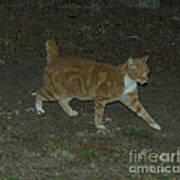 Bob-tail Cat Art Print