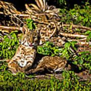 Bobcat At Sunset Art Print by Mark Andrew Thomas