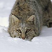 Bobcat Crouching In Snow Colorado Art Print