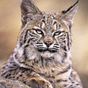 Bobcat Cub Portrait Montana Wildlife Art Print by Dave Welling