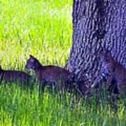 Bobcat Cubs Art Print