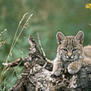 Bobcat Kitten Resting On A Log Idaho Art Print