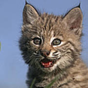 Bobcat Kitten Art Print