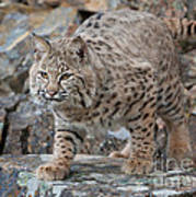 Bobcat On Rock Art Print