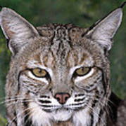 Bobcat Portrait Wildlife Rescue Art Print
