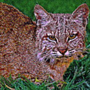 Bobcat Sedona Wilderness Art Print
