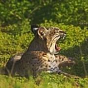 Bobcat Yawn Art Print