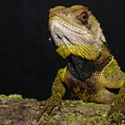 Bocourts Dwarf Iguana Choco Rainforest Art Print