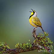 Bokmakierie Bird - Telophorus Zeylonus Art Print by Johan Swanepoel