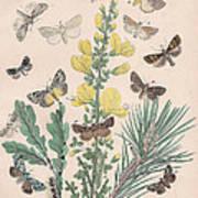 Bombycoidae - Acronyctidae - Orthosidae Art Print