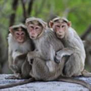 Bonnet Macaque Trio Huddling India Art Print
