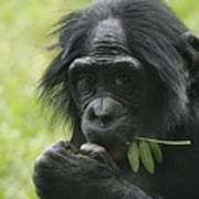 Bonobo Eating Art Print