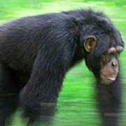 Bonobo Pan Paniscus Knuckle-walking Art Print