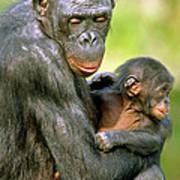 Bonobo Pan Paniscus Mother And Infant Art Print