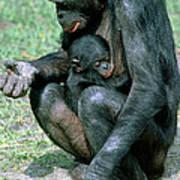 Bonobo Pan Paniscus Nursing Art Print
