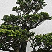 Bonsai Pine Art Print