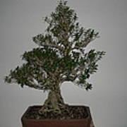 bonsai tree Serissa Foetida live tree art exposed root over rock Art Print