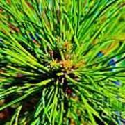Bonzi Pine Art Print
