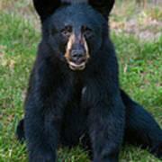 Boo-boo The Little Black Bear Cub Art Print