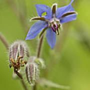 Borage Wildflower - Borage Officinalis - Annual Herb Art Print