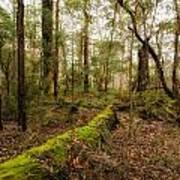 Boranup Forest - Western Australia Art Print