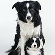 Border Collie Dog & Puppy Art Print