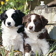 Border Collie Dog, Two Puppies Art Print