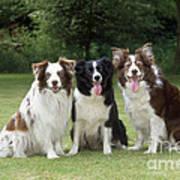 Border Collie Dogs Art Print