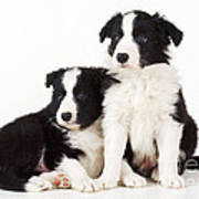 Border Collie Dogs, Two Puppies Art Print