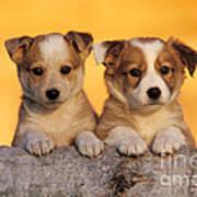 Border Collie Puppies Art Print