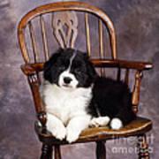 Border Collie Puppy On Chair Art Print